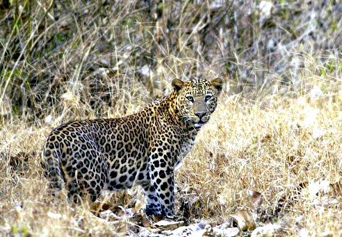 2007-kabini-leopard