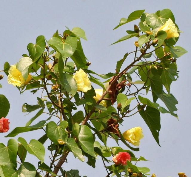Indian_Tulip_tree_(Thespesia_populnea)_flowers_W_IMG_6873