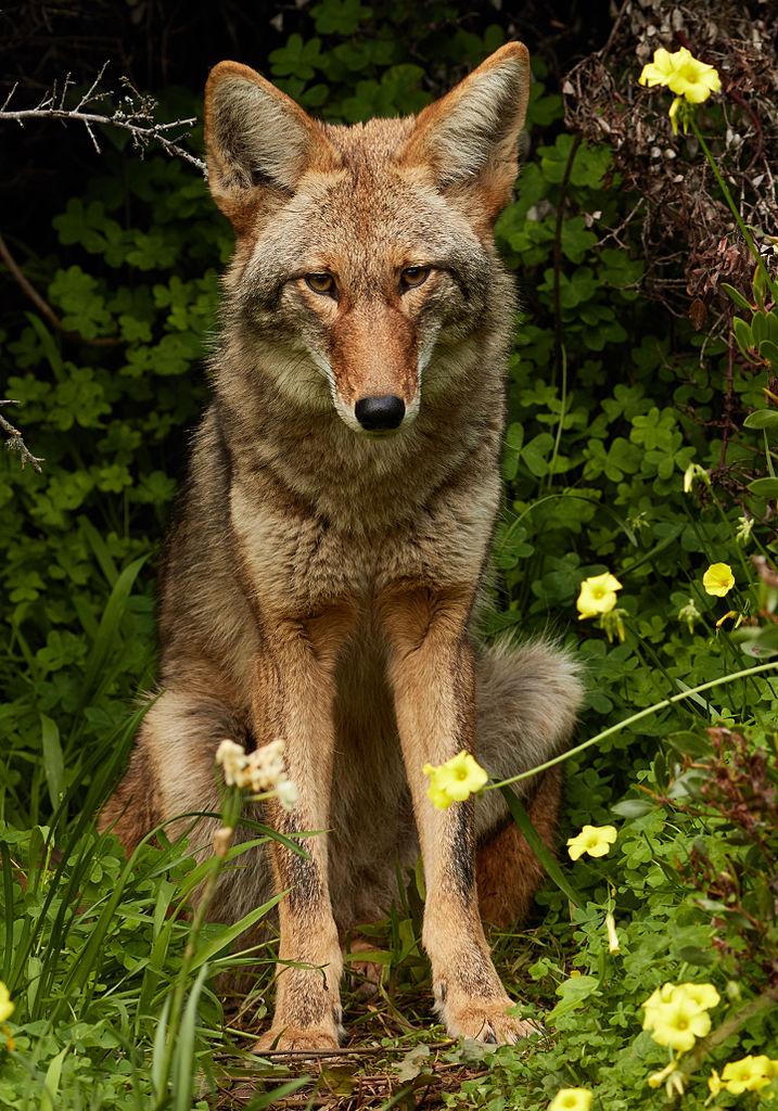 717px-Urban_Coyote,_Bernal_Heights