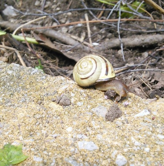 A snail in the garden / un escargot
