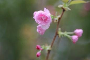 聽就長洲的櫻花是在臺灣購入的,可是因為觀賞櫻花而且沒有公德心的人太多,不少櫻花都已經死了
