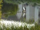 Egret-on-pond1