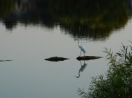 Egret-walking1.jpg