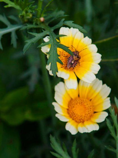 graines bio et reproductibles de chrysanthème comestible - échoppe végétale