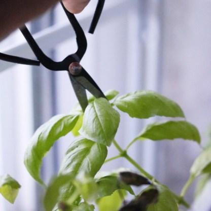 Ciseau de cuisine pinceur pour ciseler les herbes aromatique comme le basilic