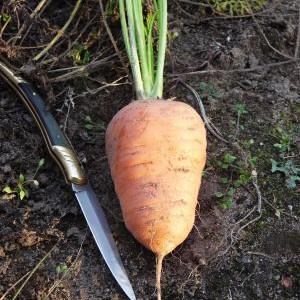 carotte obtuse de guérande à cultiver sur le balcon, variété ancienne