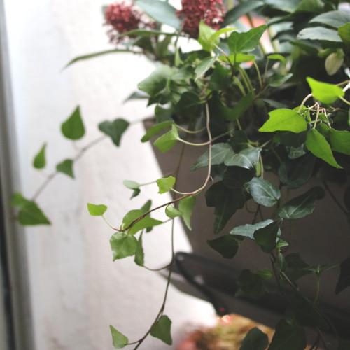 plante pot lierre jardinière pour plantes au balcon