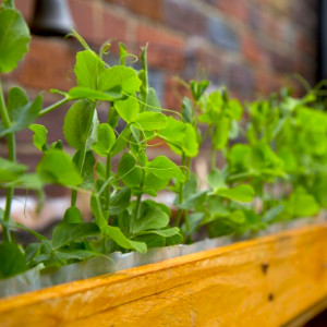 graines de petits pois accompagnées d'un livret avec dates de semis et récolte au potager de balcon.