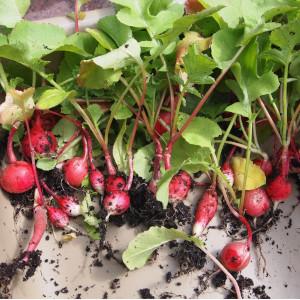 retrouvez des semences de qualité pour semer des graines de radis rose au potager de balcon