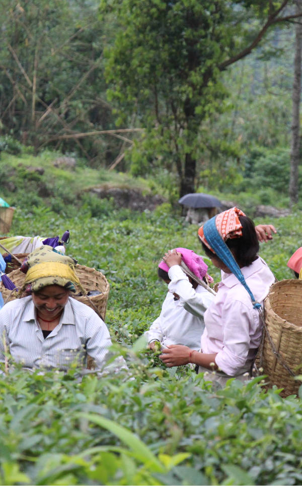 récolte thé noir chine yunnan
