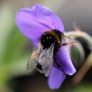 abeille qui butine fleur violette au balcon avec pollen