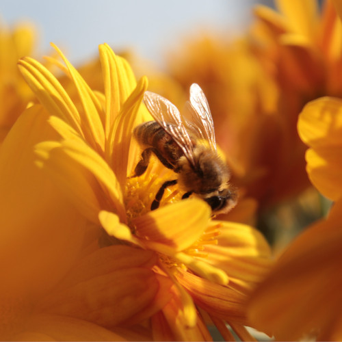 pollinisateur urbain sur fleurs jaune, nectar