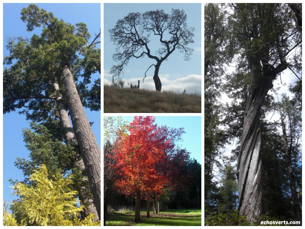 Arbres- Ile de Vancouver- copyright- échos verts