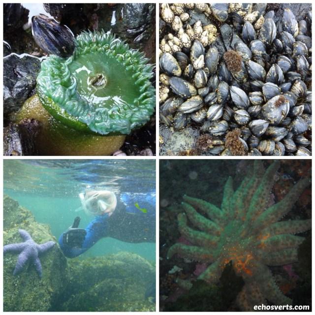 vie sous marine- île de vancouver- copyright- échos verts