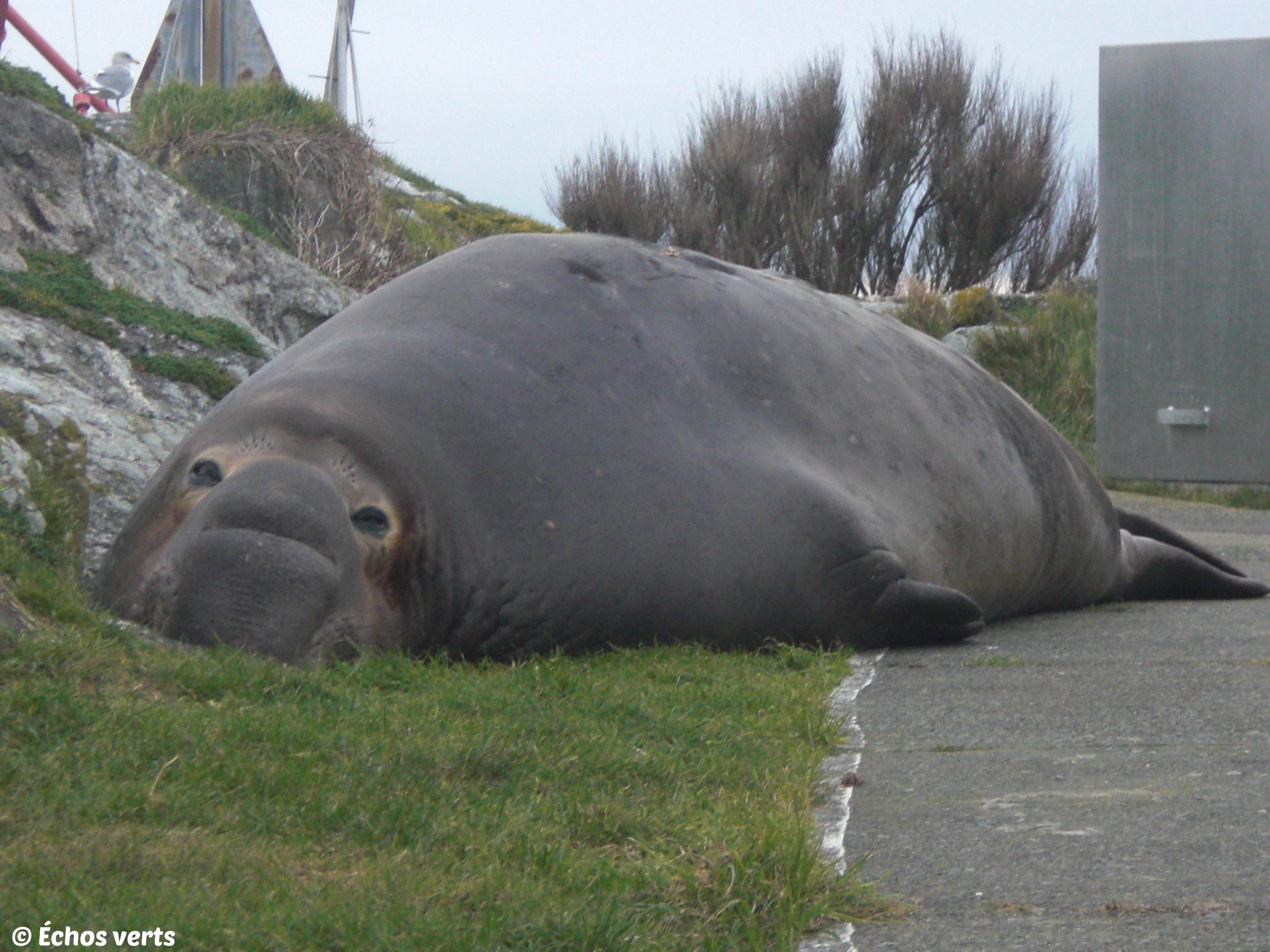 Elephant seal- copyright- échos verts