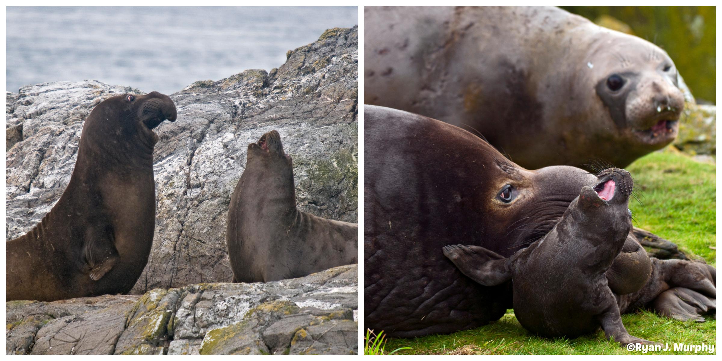 Elephant seals- échos verts- ©Ryan J. Murphy