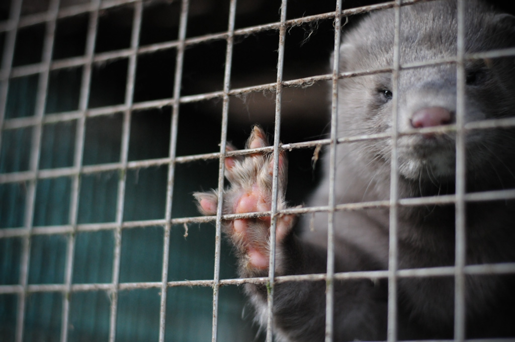 Minks copyright Jo-Anne McArthur