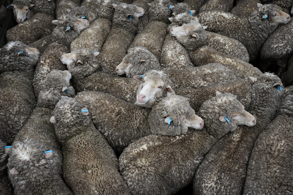 Moutons © Jo-Anne McArthur, We animals