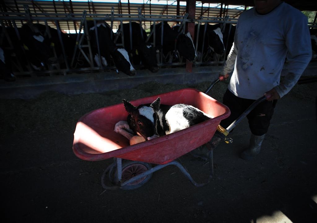 JMcArthur_DairyVealFarm_-0049 We animals