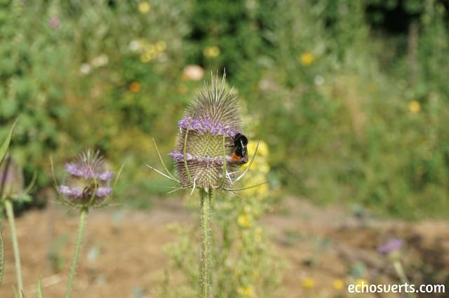 Insecte qui butine une fleur echosverts.com