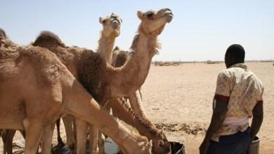 صورة السنغال تسمح للإبل الموريتانية بدخول أراضيها
