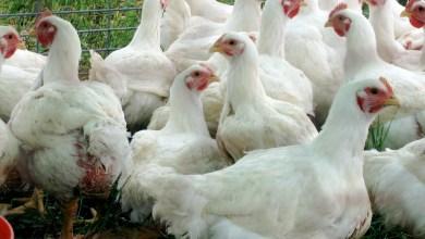 صورة مصدر رسمي :موريتانيا تدفع  6 مليارات ونصف سنويا لإستيراد الدجاج