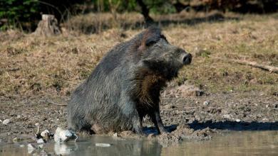 صورة الخنزير البري.. أحدث محطات السجال بين الرئيس الموريتاني وخصومه