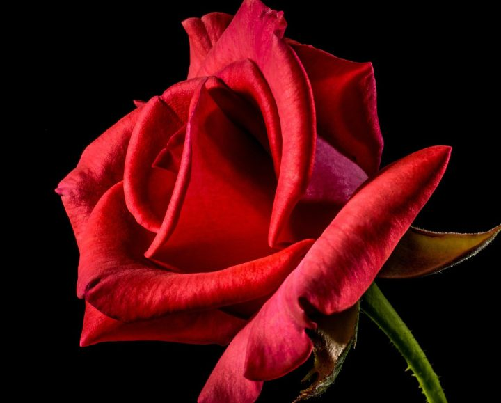 Symbol der Liebe: Rote Rose