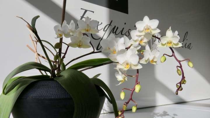 Eine weiße Orchidee dekoriert das Geschäft und ist für die Inhaberin ein Glücksbringer.