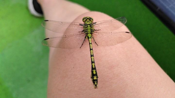 Eine Libelle auf meinem Knie