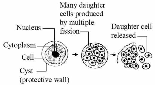 Multiple fission in plasmodium