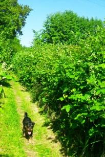 promise of blackberries