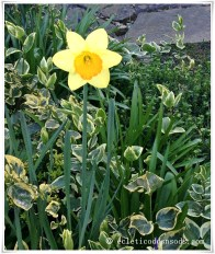 Epitome of Spring Time, daffodil