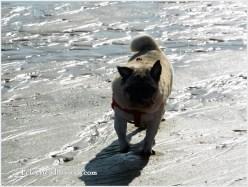 pug running