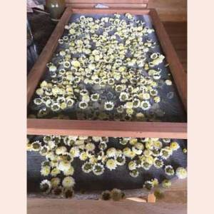 Flowers harvested by Mountainsong Herbals