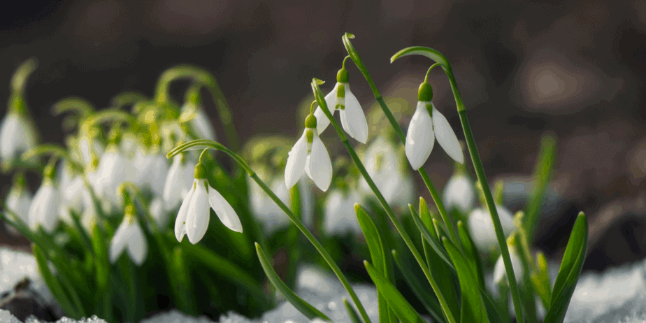 Snowdrops coming up through the snow