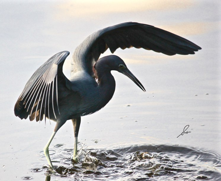 Little Blue Heron bracing