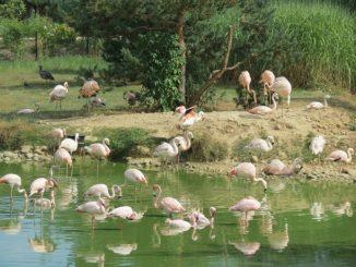 Parc des Oiseaux, flamants d'Afrique