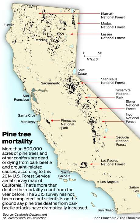 Pine trees are dying throughout California
