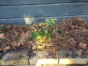 Aardbeienplant met mulch eromheen