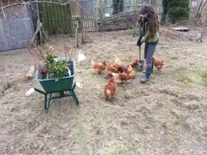Aanleg voedselbos met kippen