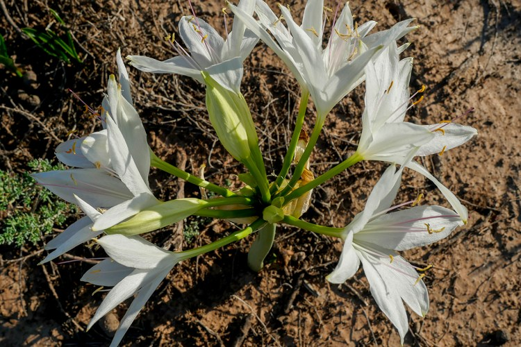 """Darling lily on the plains of """"Burrima"""""""