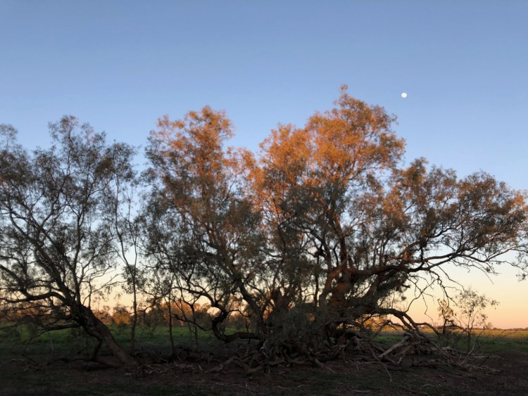 One of the two ancient Coolibah trees on Burrima bathed in the early morning light