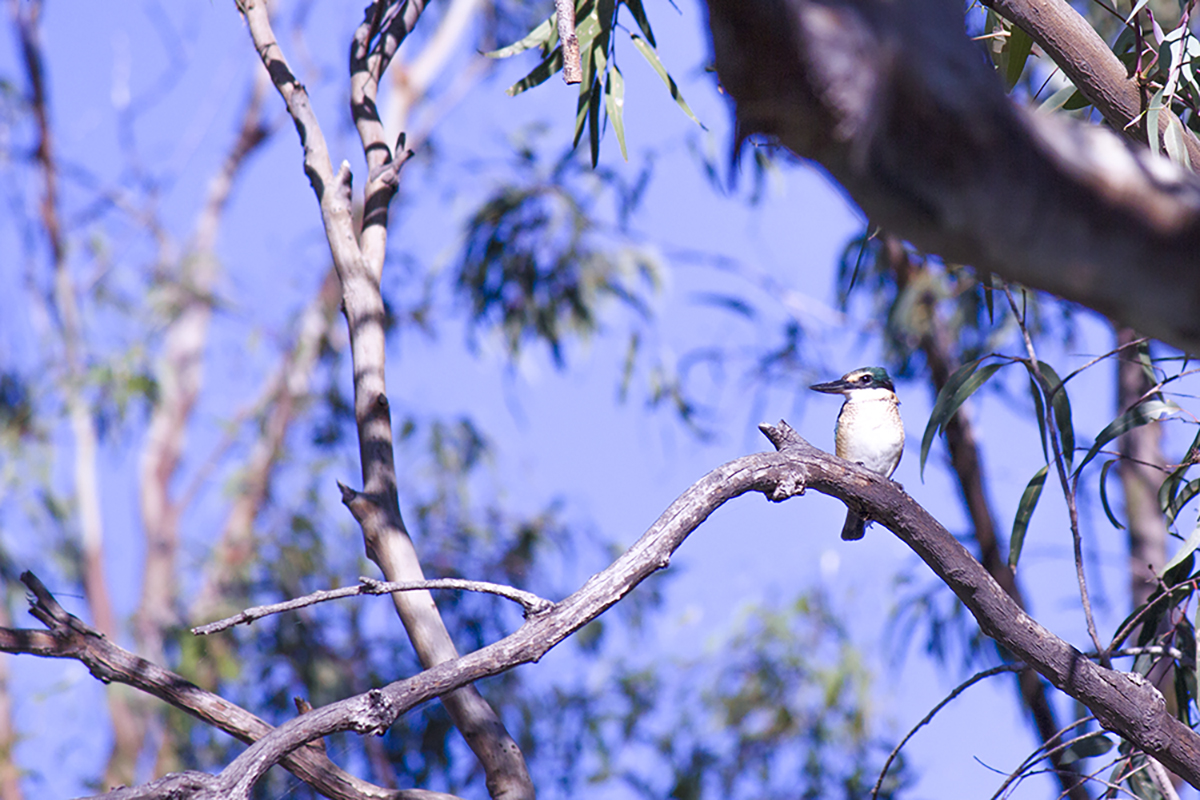 A kingfisher in the woodlands at Burrima - photo by Cameron Porteous