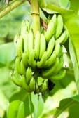 Banane na stablu