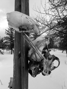 Animal skulls tied up off the ground so other animals cannot get to them.  It is a sign of respect – honoring the gift of food to the Cree people and releasing the animal's spirit back to the forest.