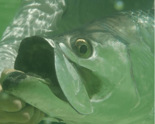 """Graduate Student, Lucas Griffin to give Seminar at College of Charleston entitled, """"Connecting the Dots with Acoustic Telemetry: A Promising Approach to Track Highly Migratory Atlantic Tarpon Across the Gulf of Mexico and Western Atlantic"""""""