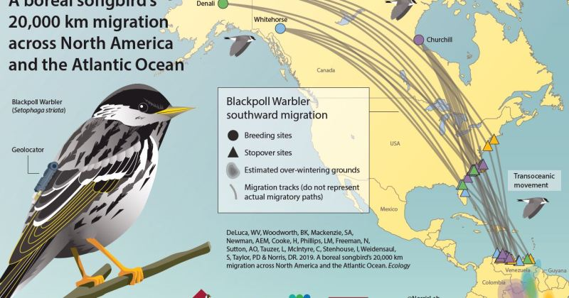 William DeLuca and Colleagues Uncover Blackpoll Warbler Migration Pattern