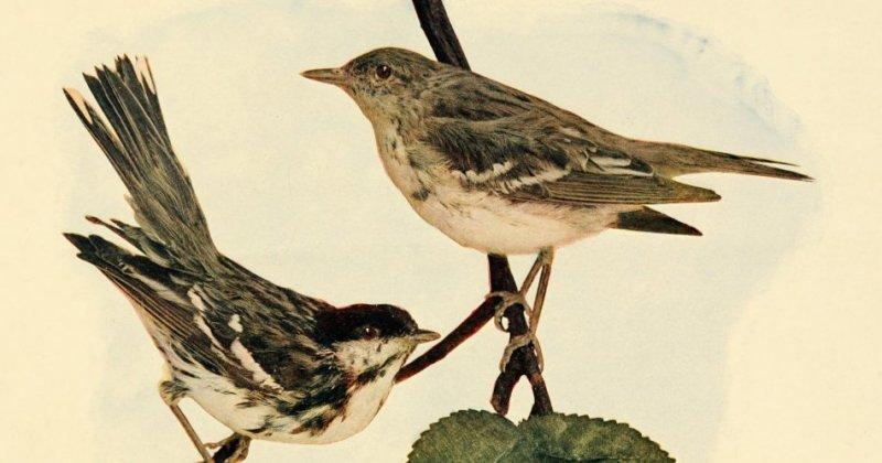 Tiny songbirds, incredible stamina
