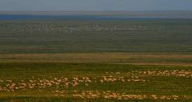 Mongolian gazelles, which are constantly on the move, are capable of traveling hundreds of kilometers across the steppes in a matter of days. Gazelle movements are as yet little understood, but may be related to stochastic rainfall events. Group sizes are extremely variable ranging from single individuals to megaherds of more than 200,000 gazelles. Inset: Gazelle calves are born end of June.